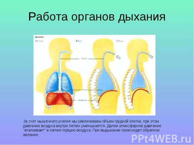 Работа органов дыхания За счет мышечного усилия мы увеличиваем объем грудной клетки, при этом давление воздуха внутри легких уменьшается. Далее атмосферное давление