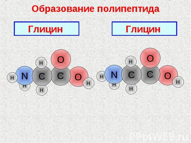 Образование полипептида Глицин Глицин