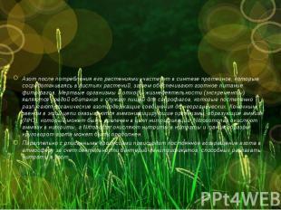 Азот после потребления его растениями участвует в синтезе протеинов, которые, со