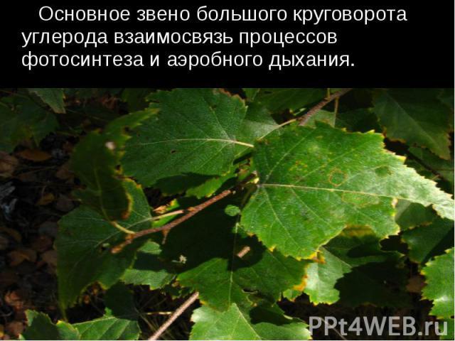 Основное звено большого круговорота углерода взаимосвязь процессов фотосинтеза и аэробного дыхания.