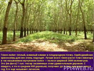 Гевея любит теплый, влажный климат и плодородную почву. Камбоджийские красноземы