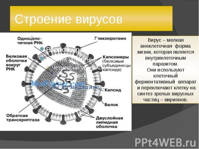 Строение вирусов Вирус – мелкая внеклеточная форма жизни, которая является внутриклеточным паразитом.Они используют клеточный ферментативный аппарат и переключают клетку на синтез зрелых вирусных частиц – вирионов.