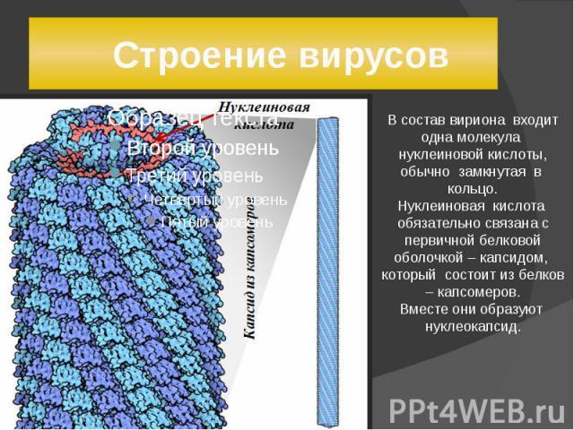 Строение вирусов В состав вириона входит одна молекула нуклеиновой кислоты, обычно замкнутая в кольцо.Нуклеиновая кислота обязательно связана с первичной белковой оболочкой – капсидом, который состоит из белков – капсомеров.Вместе они образуют нукле…