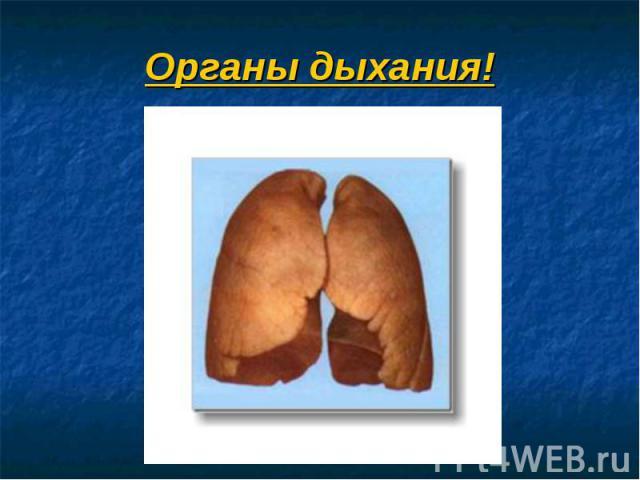 Органы дыхания!