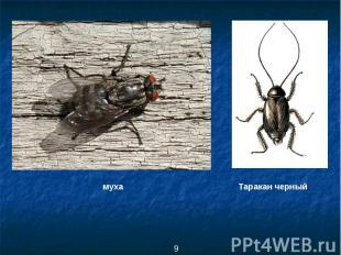 муха Таракан черный
