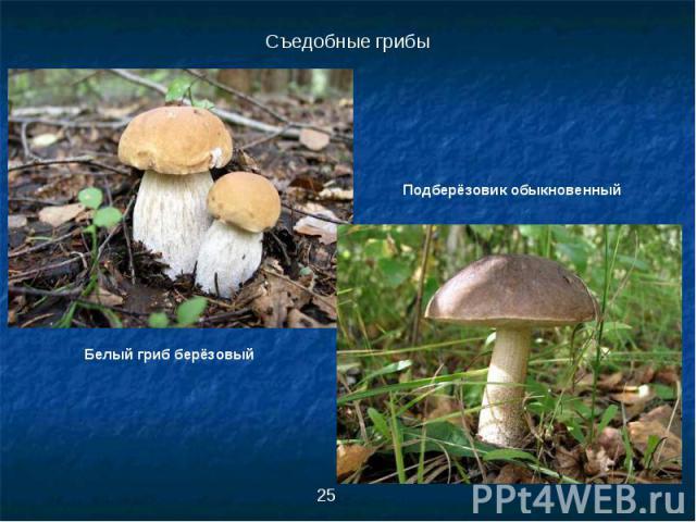 Съедобные грибыПодберёзовик обыкновенныйБелый гриб берёзовый
