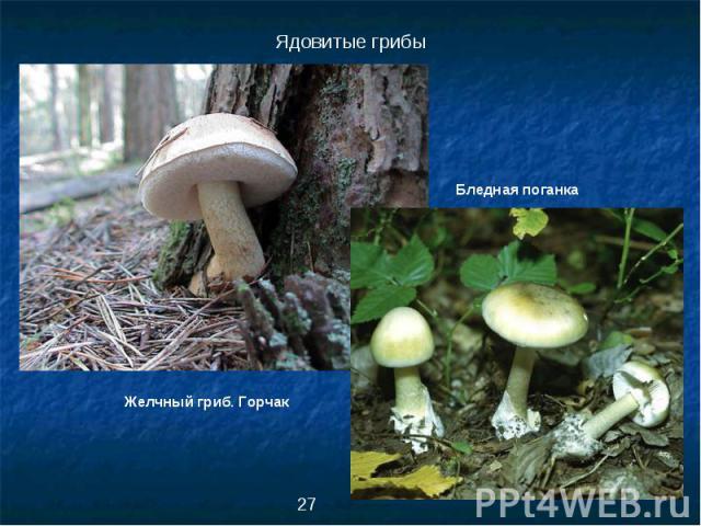 Ядовитые грибыБледная поганкаЖелчный гриб. Горчак