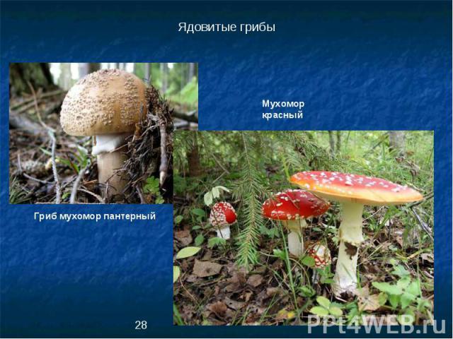 Ядовитые грибыМухомор красныйГриб мухомор пантерный