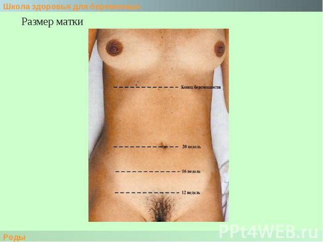 Размер матки