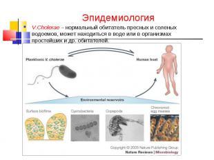 Эпидемиология V.Cholerae – нормальный обитатель пресных и соленых водоемов, може