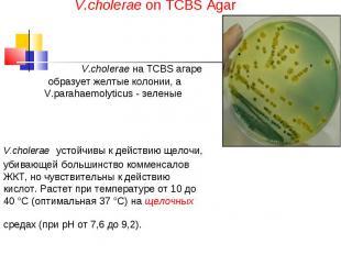 V.cholerae on TCBS Agar V.cholerae на TCBS агаре образует желтые колонии, а V.pa
