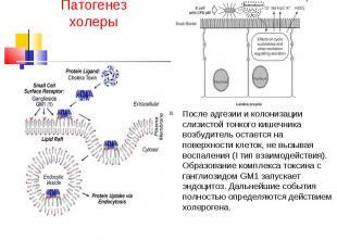 Патогенез холеры После адгезии и колонизации слизистой тонкого кишечника возбуди