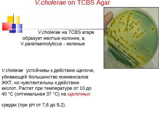 V.cholerae on TCBS Agar V.cholerae на TCBS агаре образует желтые колонии, а V.parahaemolyticus - зеленые V.cholerae устойчивы к действию щелочи, убивающей большинство комменсалов ЖКТ, но чувствительны к действию кислот. Растет при температуре от 10 …