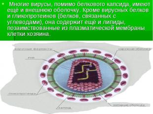 Многие вирусы, помимо белкового капсида, имеют ещё и внешнюю оболочку. Кроме вир
