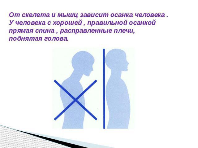 От скелета и мышц зависит осанка человека . У человека с хорошей , правильной осанкой прямая спина , расправленные плечи, поднятая голова.