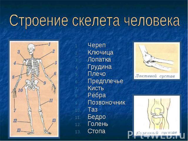 Строение скелета человека ЧерепКлючицаЛопаткаГрудинаПлечоПредплечьеКистьРёбраПозвоночникТазБедроГоленьСтопа