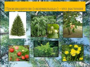 Производители («кормильцы») –это растения
