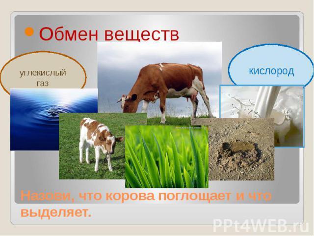 Обмен веществкислородНазови, что корова поглощает и что выделяет.