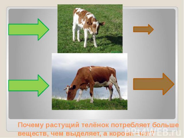 Почему растущий телёнок потребляет больше веществ, чем выделяет, а корова –нет?