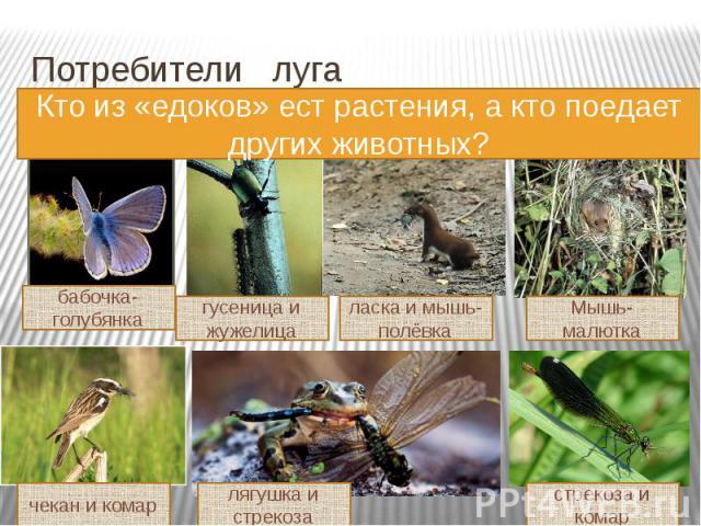 Потребители луга Кто из «едоков» ест растения, а кто поедает других животных?