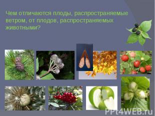 Чем отличаются плоды, распространяемые ветром, от плодов, распространяемых живот