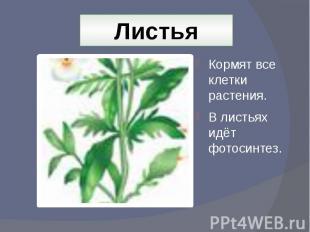 Листья Кормят все клетки растения.В листьях идёт фотосинтез.