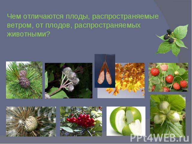 Чем отличаются плоды, распространяемые ветром, от плодов, распространяемых животными?