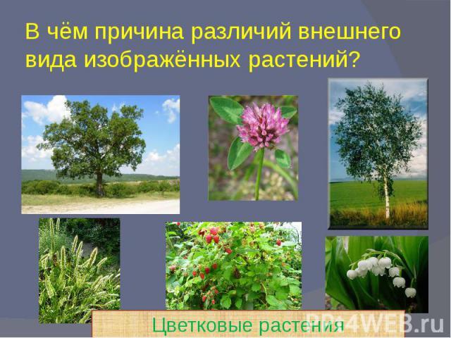 В чём причина различий внешнего вида изображённых растений?