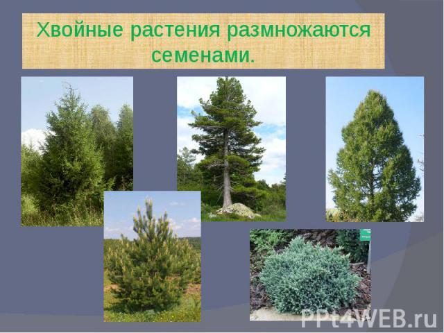 Хвойные растения размножаются семенами.