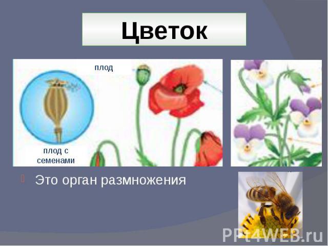 Цветок Это орган размножения