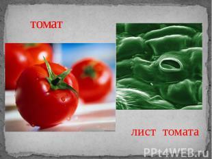 томат лист томата