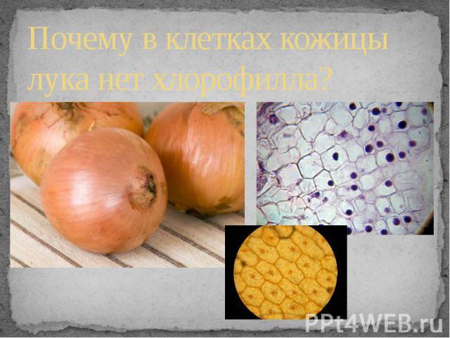 Почему в клетках кожицы лука нет хлорофилла?