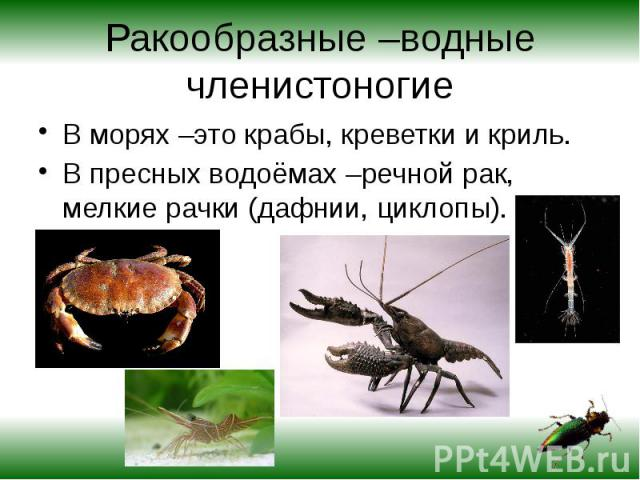 Ракообразные –водные членистоногие В морях –это крабы, креветки и криль.В пресных водоёмах –речной рак, мелкие рачки (дафнии, циклопы).