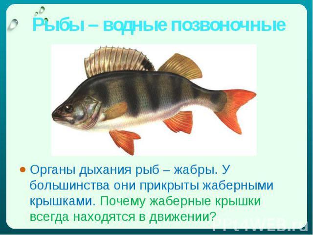 Рыбы – водные позвоночные Органы дыхания рыб – жабры. У большинства они прикрыты жаберными крышками. Почему жаберные крышки всегда находятся в движении?