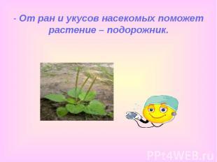 - От ран и укусов насекомых поможет растение – подорожник.