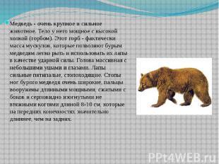 Медведь - очень крупное и сильное животное. Тело у него мощное с высокой холкой