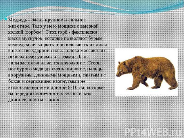 Медведь - очень крупное и сильное животное. Тело у него мощное с высокой холкой (горбом). Этот горб - фактически масса мускулов, которые позволяют бурым медведям легко рыть и использовать их лапы в качестве ударной силы. Голова массивная с небольшим…
