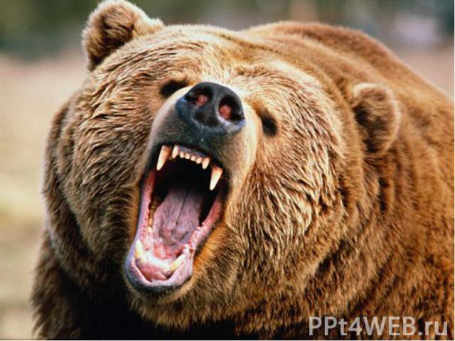Шерсть длинная густая и грубая, часто свалявшаяся и обычно равномерно окрашенная.У бурого медведя 40 зубов.Длина европейского бурого медведя обычно 1,2-2 м при высоте в холке около 1 м и массе от 135 до 250 кг. Хвост короткий…