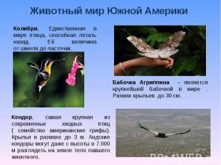 Животный мир Южной Америки Колибри. Единственная в мире птица, способная летать
