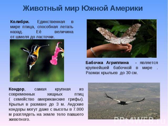 Животный мир Южной Америки Колибри. Единственная в мире птица, способная летать назад. Её величина отшмелядоласточки. Кондор, самая крупная из современных хищных птиц ( семейство американские грифы). Крылья в размахе до 3 м. Андские кондоры могу…