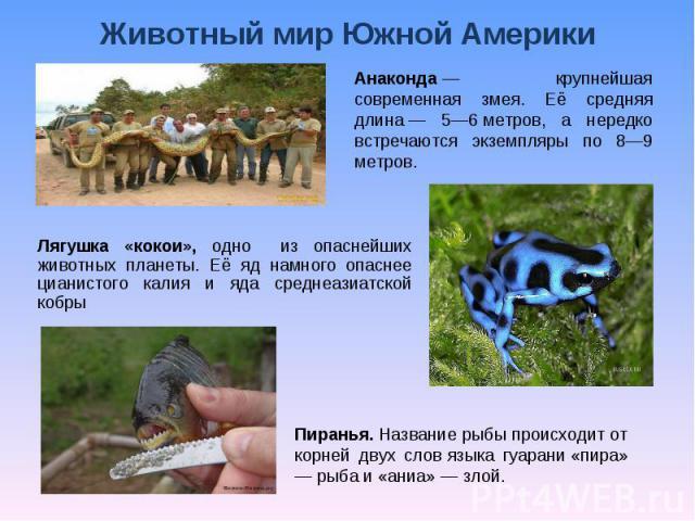 Животный мир Южной Америки Анаконда— крупнейшая современная змея. Её средняя длина— 5—6метров, а нередко встречаются экземпляры по 8—9 метров. Лягушка «кокои», одно из опаснейших животных планеты. Её яд намного опаснее цианистого калия и яда сред…