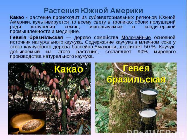 Растения Южной Америки Какао - растение происходит из субэкваториальных регионов Южной Америки, культивируется по всему свету в тропиках обоих полушарий ради получения семян, используемых в кондитерской промышленности и медицине. Гевея бразильская —…