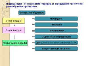 Гибридизация – это получение гибридов от скрещивания генетически разнообразных о