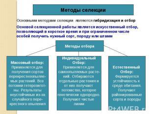 Методы селекции Основными методами селекции являются гибридизация и отбор Осново