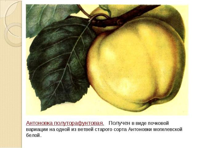 Антоновка полуторафунтовая. Получен в виде почковой вариации на одной из ветвей старого сорта Антоновки могилевской белой.