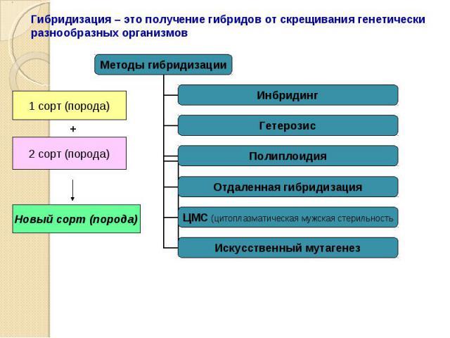 Гибридизация – это получение гибридов от скрещивания генетически разнообразных организмов