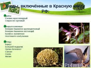 Виды, включённые в Красную книгу РФ:Грибы: Ежевик коралловидный Спарассис курчав