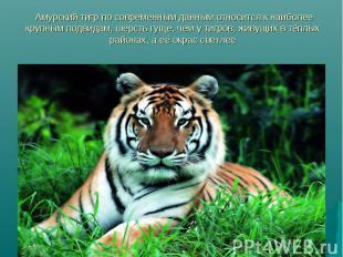 Амурский тигр по современным данным относится к наиболее крупным подвидам, шерст
