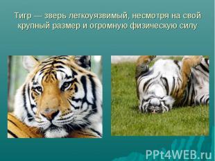 Тигр — зверь легкоуязвимый, несмотря на свой крупный размер и огромную физическу