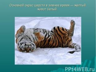Основной окрас шерсти в зимнее время — жёлтый, живот белый.